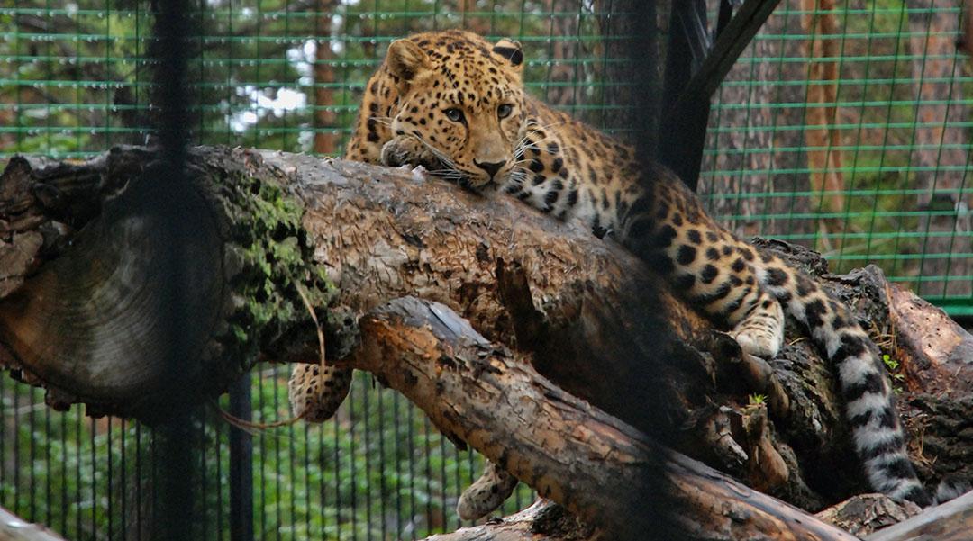 Aapjes kijken Novosibirsk zoopark dierentuin