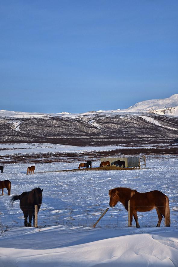 Paarden in Zuidland IJsland