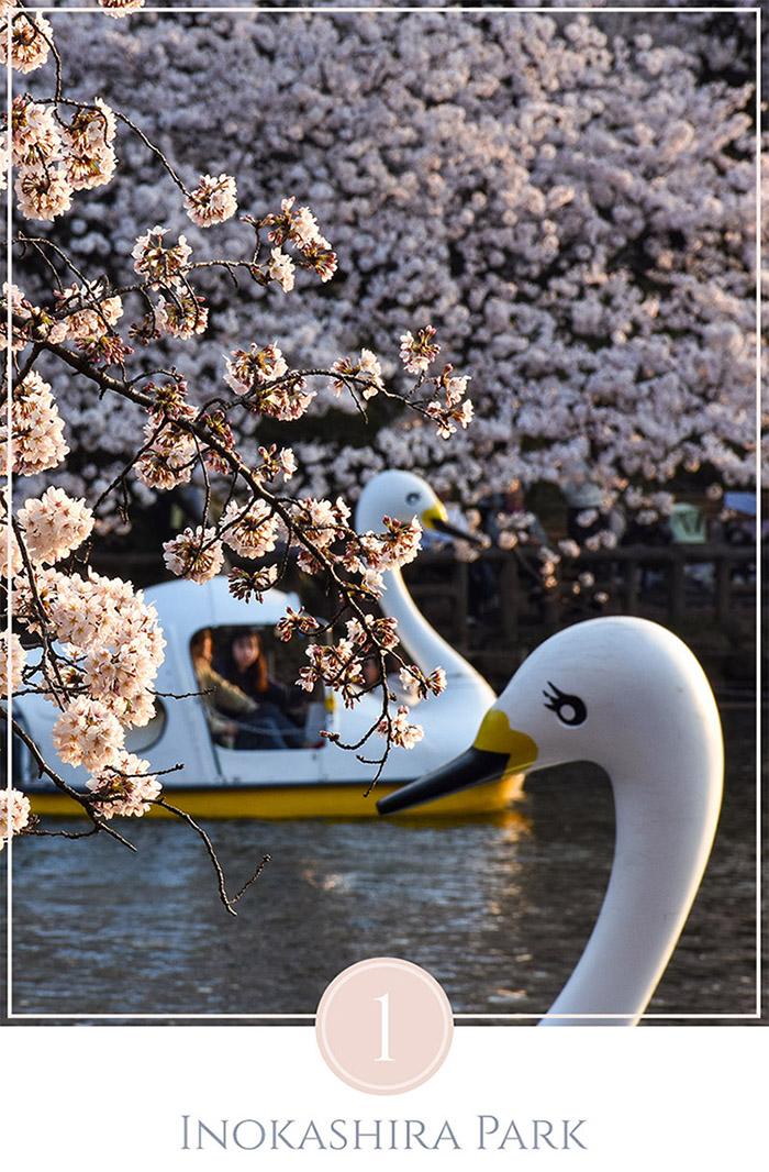 Twee zwanenboten tussen de kersenbloesems in Inokashira Park Tokyo